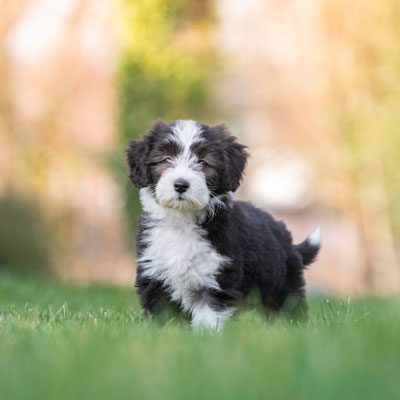 hondenfoto met puppy bearded collie